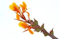 Orange Canna Flower. Or Orange Indian shot Flower or Canna Lily Royalty Free Stock Image