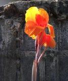 Orange canna lilly Fotografering för Bildbyråer
