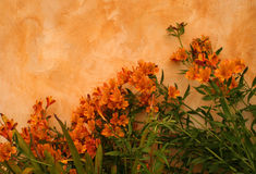Orange Canna Lily Flowers Against Orange Wall Stock Photos
