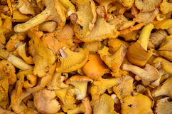 Orange cantharellus cibarius chanterelle mushrooms Royalty Free Stock Photography