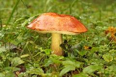 Orange-cap boletus. On forest glade Royalty Free Stock Photo