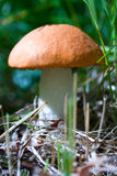 Orange cap boletus Royalty Free Stock Images