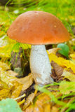 Orange-cap boletus Stock Photography