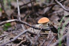 Orange cap boletus Stock Image