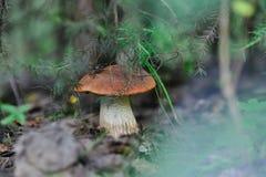 Orange cap boletus Royalty Free Stock Photo