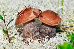 Orange-cap boletus edulis mushroom. Autumn time forest scene. macro view, shallow depth of field Royalty Free Stock Photos