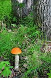 Orange-cap boletus in forest Royalty Free Stock Images