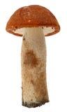 Orange-cap boletus. Forest mushrooms isolated on. A white background Stock Images