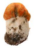 Orange-cap boletus. Forest mushrooms isolated on Royalty Free Stock Photography