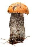 Orange-cap boletus. Forest mushrooms isolated on Royalty Free Stock Images