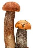 Orange-cap boletus. Forest mushrooms isolated on. A white background Stock Photo