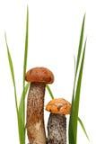 Orange-cap boletus. Forest mushrooms isolated on. A white background Stock Photography