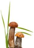 Orange-cap boletus. Forest mushrooms isolated on. A white background Royalty Free Stock Photo