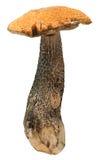 Orange-cap boletus. Forest mushrooms isolated on Royalty Free Stock Image