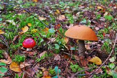 Orange-cap boletus growing in the forest Stock Photography