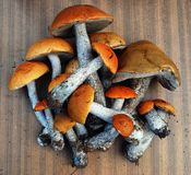 Orange-cap boletus growing in the forest Royalty Free Stock Photo
