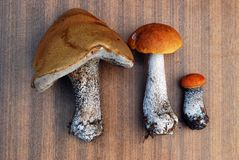 Orange-cap boletus growing in the forest Stock Images