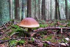 Orange-cap boletus growing in the forest Royalty Free Stock Photos