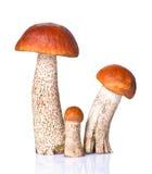 Orange-cap boletus Stock Images