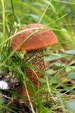 Orange-cap boletus (Leccinum aurantiacum) Stock Images