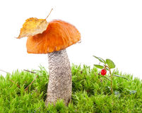 Orange-cap boletus (Leccinum) in a forest scene Royalty Free Stock Photography