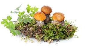 Orange-cap boletus in moss Royalty Free Stock Image