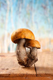 Orange-cap boletus mushroom Royalty Free Stock Image