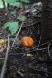 Orange-cap boletus mushroom. In the forest Stock Images