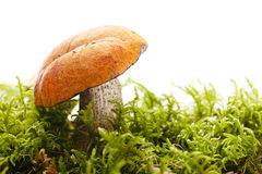 Orange-cap boletus  mushroom  in a forest scene Stock Images