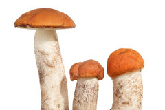 Orange Cap Boletus mushrooms Royalty Free Stock Photography