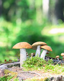 Orange Cap Boletus mushrooms Stock Photo