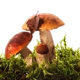 Orange-cap boletus mushrooms Stock Photo