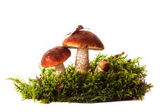 Orange-cap boletus mushrooms Royalty Free Stock Images