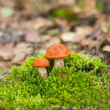 Orange-cap boletus Royalty Free Stock Photography