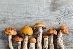 Orange-cap boletus mushrooms Royalty Free Stock Image