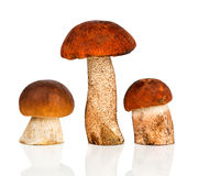 Orange-cap Boletus and porcini mushroom Royalty Free Stock Photos