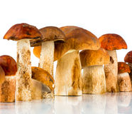 Orange-cap Boletus and porcini mushroom Royalty Free Stock Images