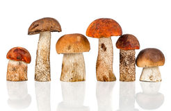 Orange-cap Boletus and porcini mushroom Royalty Free Stock Photo