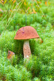 Orange-cap boletus Stock Photography