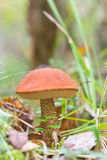 Orange-cap boletus Stock Photo