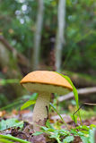 Orange-cap boletus Stock Image