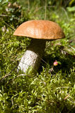 Orange-cap boletus on the sun Stock Photography