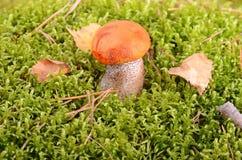 Orange-cap mushroom Stock Photo