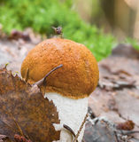 Orange cap mushroom Royalty Free Stock Images