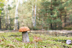 Orange-cap mushroom in forest Stock Photography