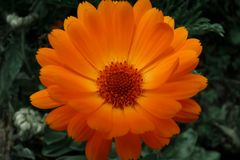 Orange Cape daisy or Dimorfoteca. Close-up (Osteospermum fruticosum Stock Photos