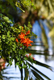 Orange cape honeysuckle. Wild orange cape honeysuckle flowers Stock Images