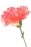 Orange Carnation Royalty Free Stock Photos