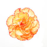 Orange carnation Stock Photography