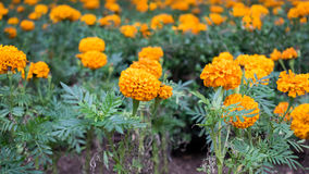 Orange carnation. A garden filled with orange carnations royalty free stock photography
